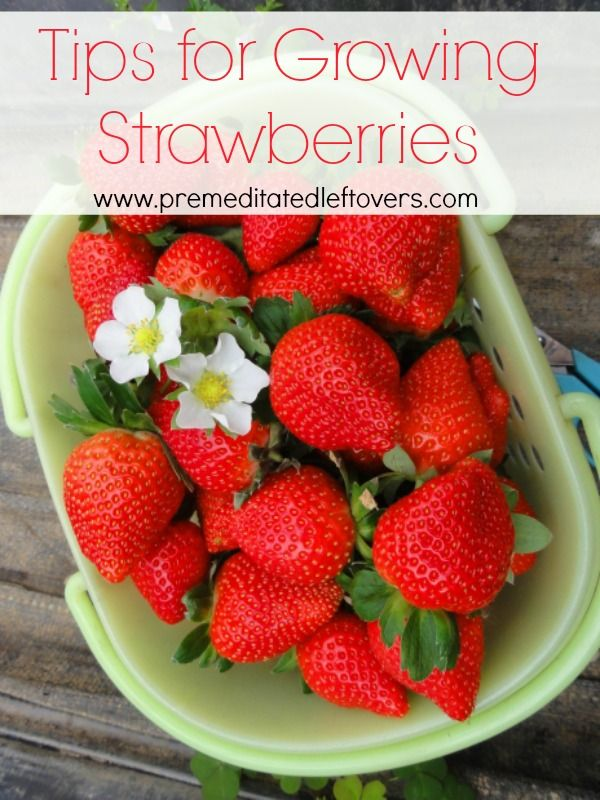Tips for Growing Strawberries, including how to plant strawberries, how to grow strawberries in containers, and when to harvest strawberries.