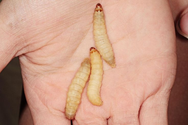Scientists have discovered that wax worms can eat plastic bags. Could that help us reduce plastic pollution?