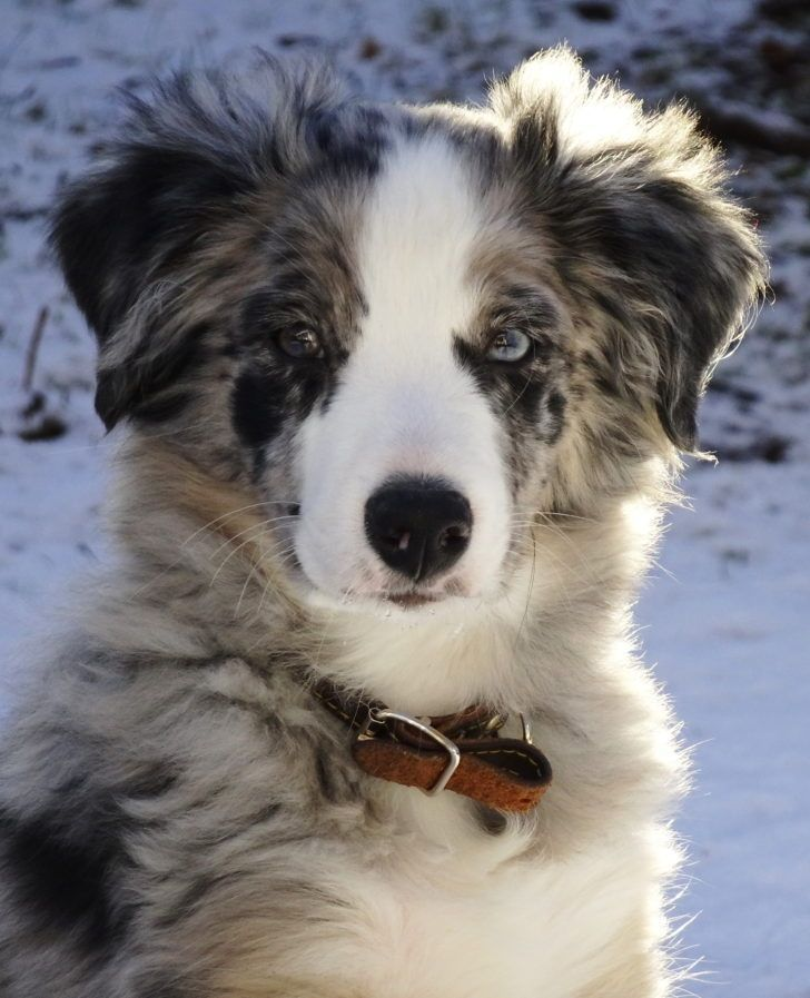 The Domestic Dog Aussie Dog Border Collie Australian Shepherd Mix