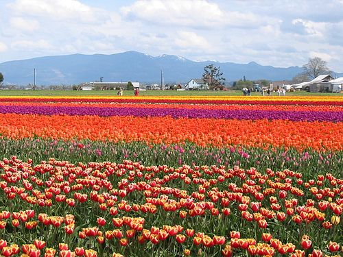 Skagit Valley tulips are wonderful.  Grew up with these every spring