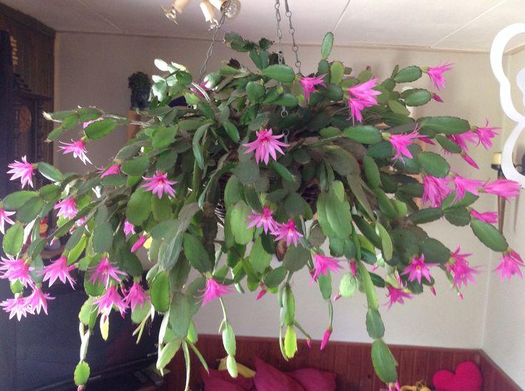 Onze lidcactus mooi in bloei