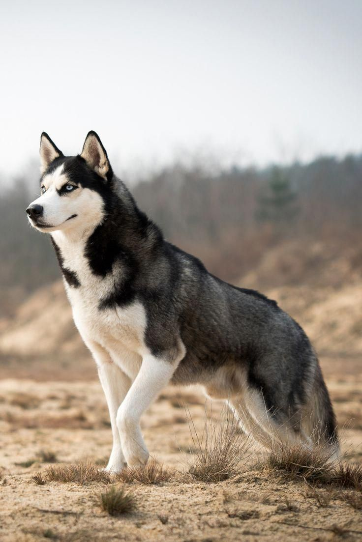 Everything About Bold Siberian Husky Temperament