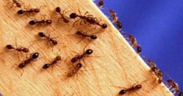Αποτελεί σύνηθες φαινόμενο σε πολλά σπίτια και κυρίως από την Ανοιξη και έπειτα, να κάνουν μυρμήγκια την εμφάνισή τους. Και επειδή ως γνωστόν, τα μυρμήγκια