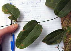 Bush Tucker Plant Foods - Smilax - Native Sarsaparilla