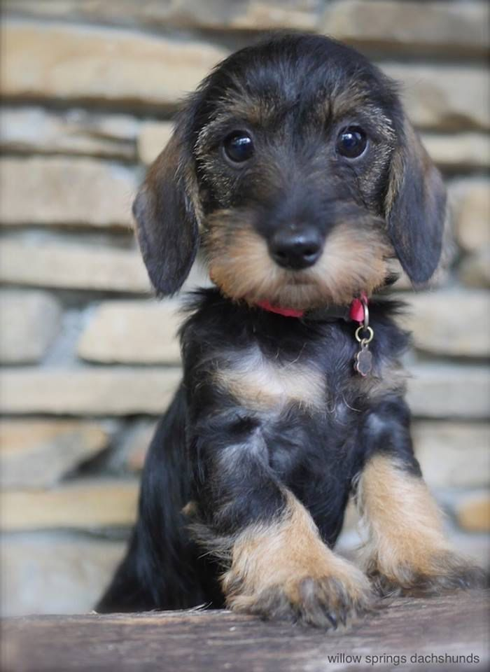 Willow Springs Dachshunds Mw Zoe Dachshund Wirehaired