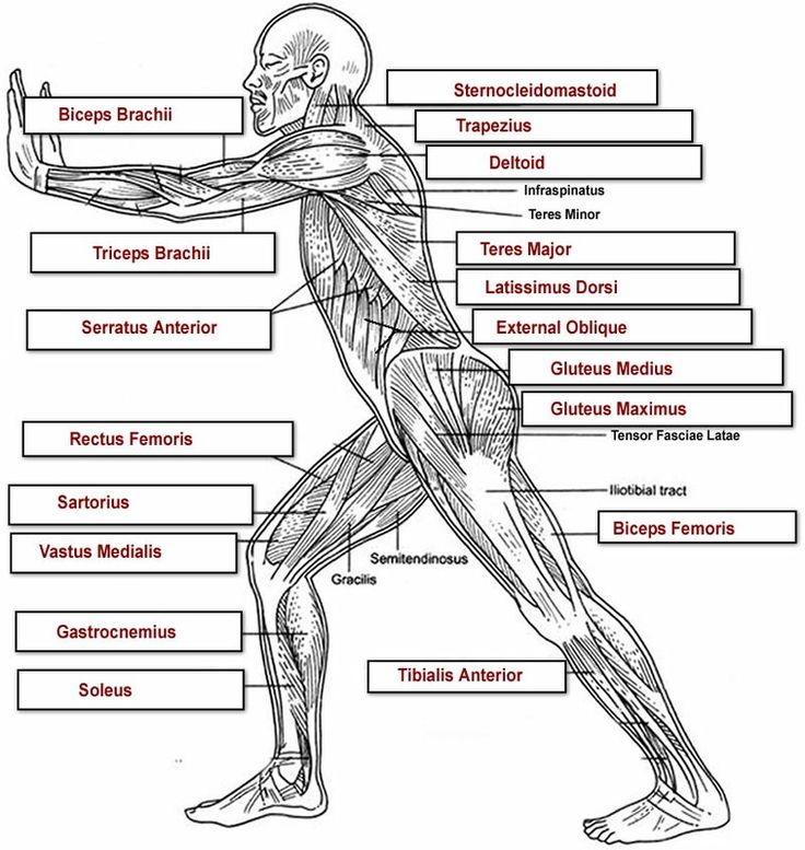 8 best images about the human body on pinterest | poster, human, Muscles