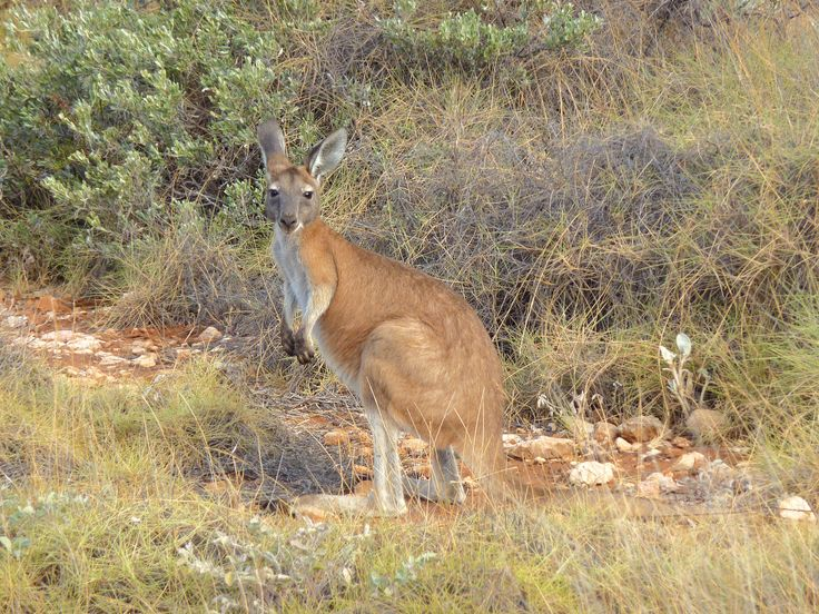Kangoo - Australia 2011  #Oz #australia #kangoo #travel #voyage #animal #soleil #wild