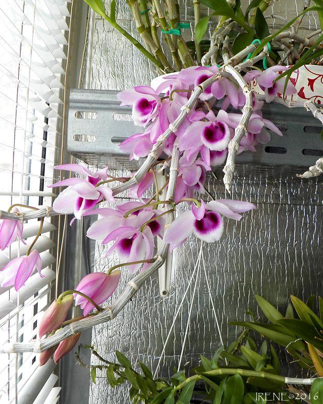 Irene (Мои орхидеи) (продолжение 5)