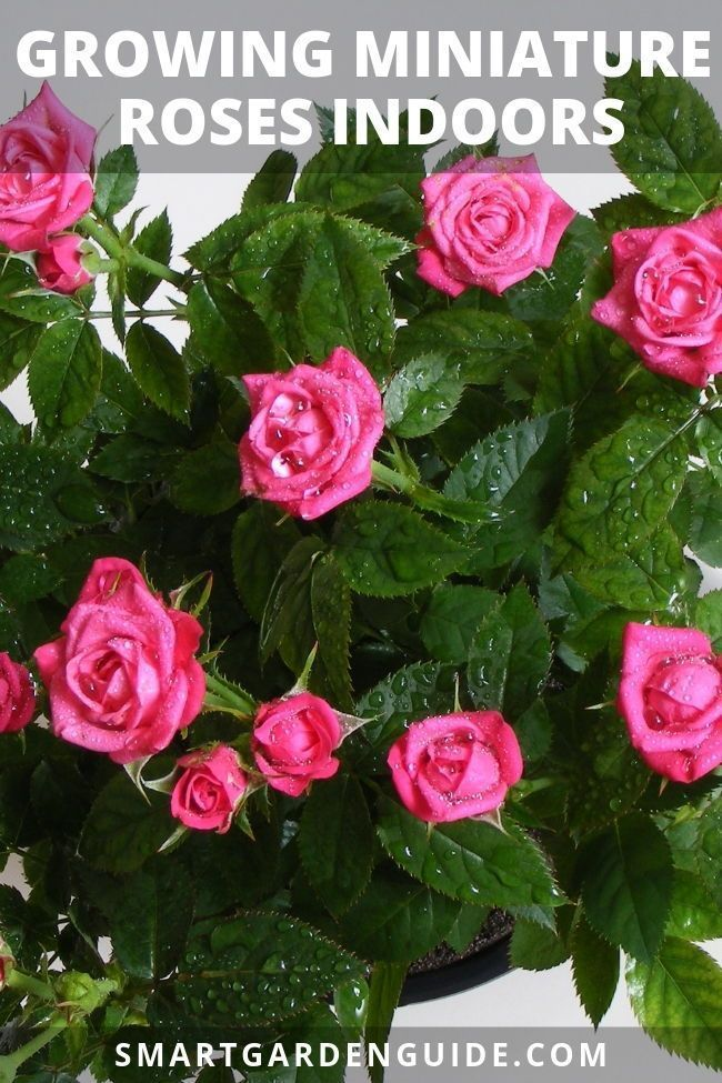 Growing Miniature Roses Indoors My Secret Tips Rose Plant Care