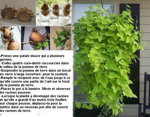 cr z une plante partir d 39 une patate douce patate douce plantes et douce. Black Bedroom Furniture Sets. Home Design Ideas