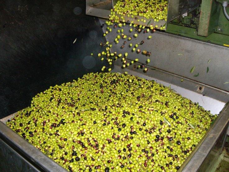 La selezione delle olive