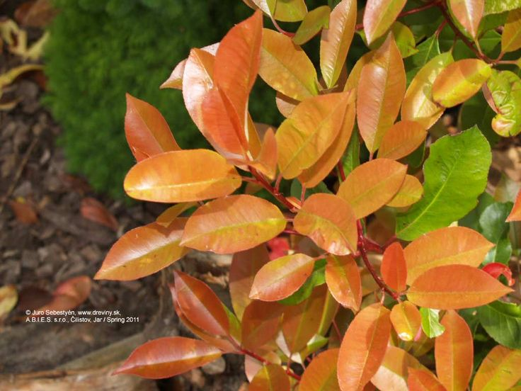 Red Robin Photinia , Red Top Photinia, Christmas Berry | Photinia fraseri Red Robin (Červienka) | Photinia fraseri Red Robin