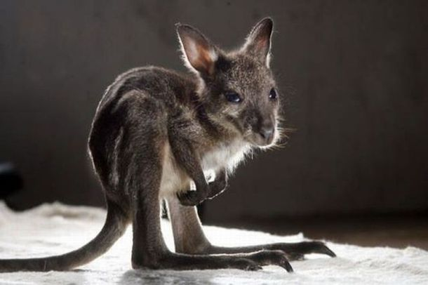 Kangaroo baby   Please do not forget to visit our website : http://petsuppliesalive.com