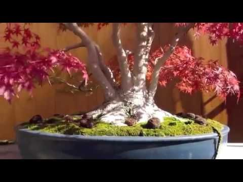 BEAUTIFUL   BONSAI   JAPAN   AND   NACHI   WORLD   HERTAGE  SHAN   TEMPLE