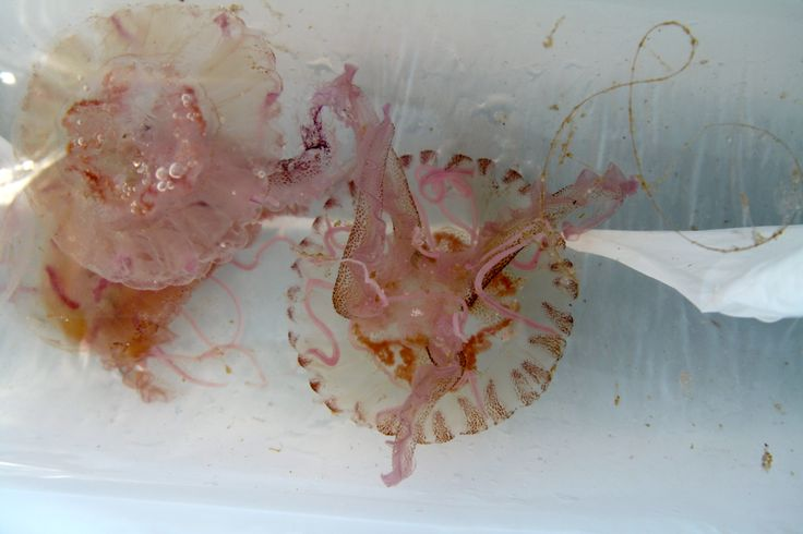Jellyfishes.  Filicudi, Italy.