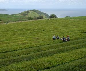 "Gorreana Tea  ""Europe's Oldest Tea Since 1883"" - Azores/Açores, Portugal"