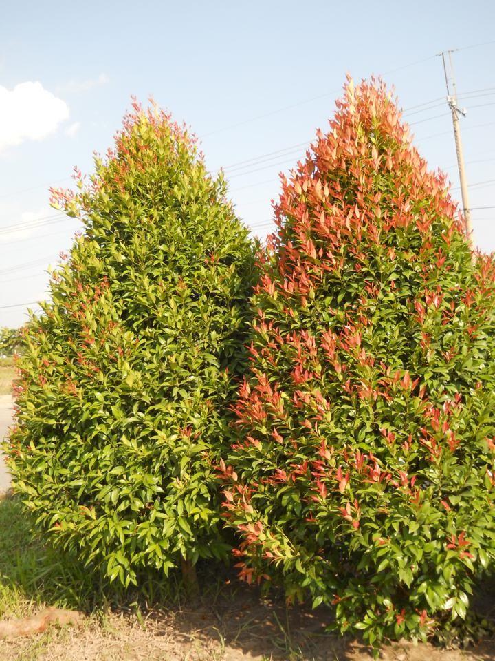 Syzygium oleina - Pucuk Merah