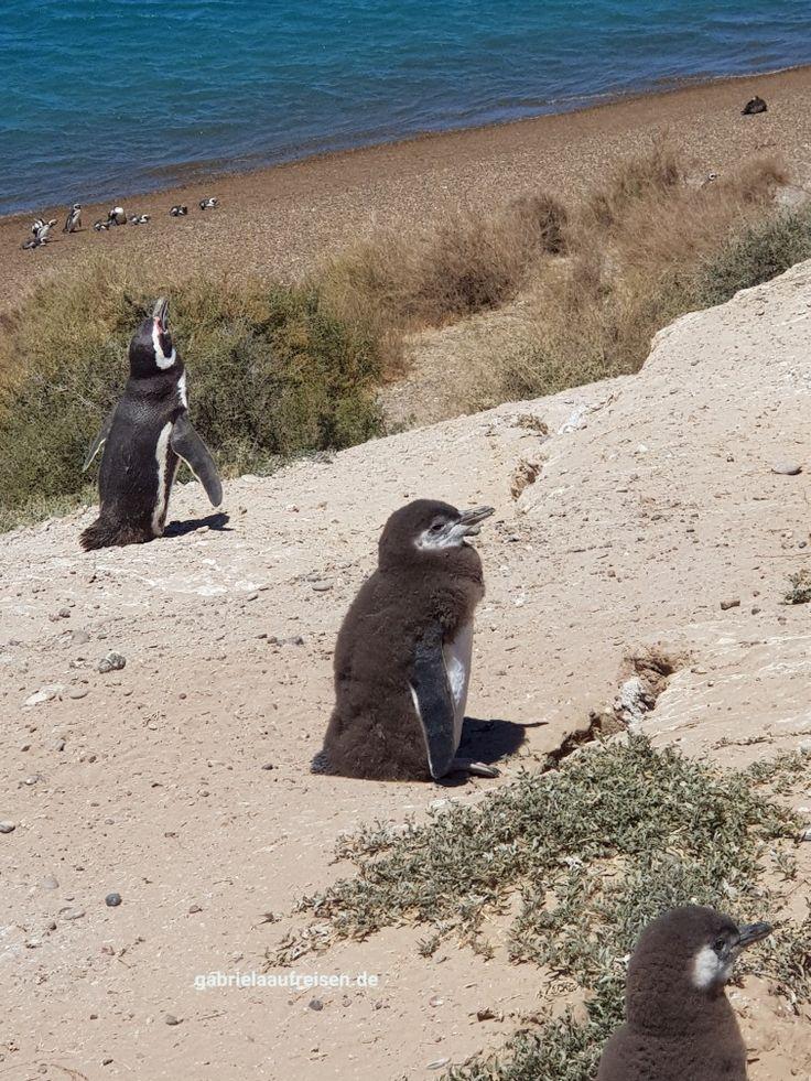 Magellan penguins near Puerto Madryn  at the Peninsula Valdes. #gabrielaaufreisen #penguins #pinguine #valdez #travelblog #reiseblog #magellan