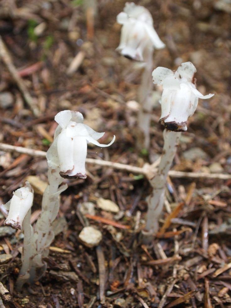 ギンリョウソウ(銀竜草)  (学名:Monotropastrum humile )はシャクジョウソウ科の多年草。腐生植物としてはもっとも有名なものの一つ。全体がやや透明感のある白色で,鱗片葉に包まれた姿を竜に見立てた名前です。別名ユウレイタケ。  2013.07  剣山付近にて・・・