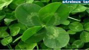 El significado del trébol de cuatro hojas