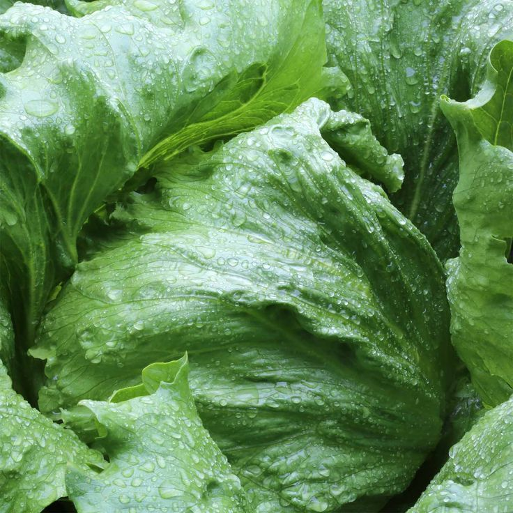 lettuce-crisphead-summertime-seed. Crisphead Lettuce Garden Seeds - Summertime - 1 Lbs - #Non-GMO. 70 days. Good heat tolerant head lettuce will produce heads more reliably under high temperatures than most other crisphead types. Sweet and crisp with no bitterness.