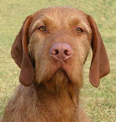 I love this face! Wirehaired- hypoallergenic