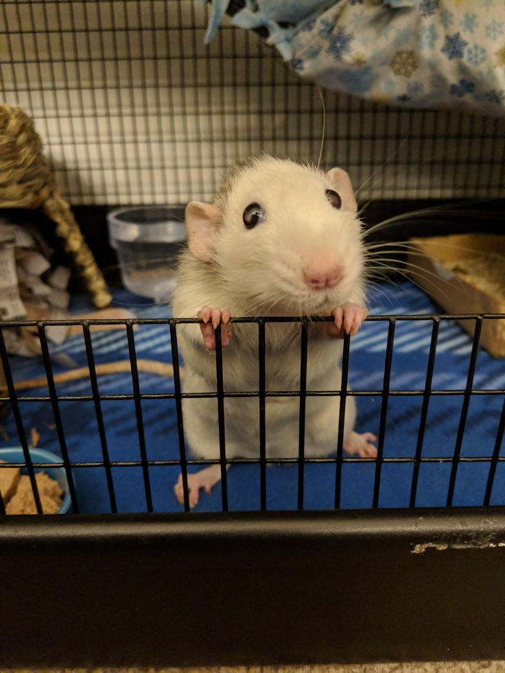 My rat Gus waiting patiently to come out and play. (x-post from /r/RATS) http://ift.tt/2Cb5Qag cute puppies cats animals