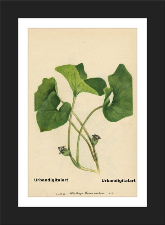 Wild Ginger-Asarum canadense-LOW COST by UrbanDigitalArt on Etsy