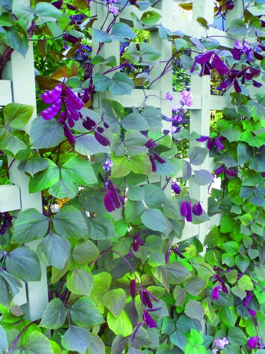 Annual 'Moon Shadow' hyacinth bean vine brings a royal show to the garden, with purple flowers, then purple pods in the fall.