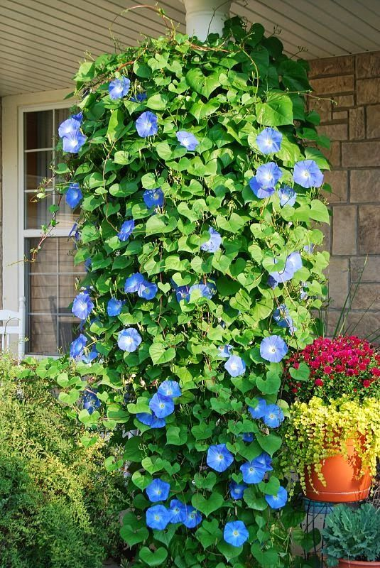 Back yard. Heavenly Blue Morning Glories..put in a hanging pot, and they will grow down wards..will do this for this summer..I have just the spot to try it..