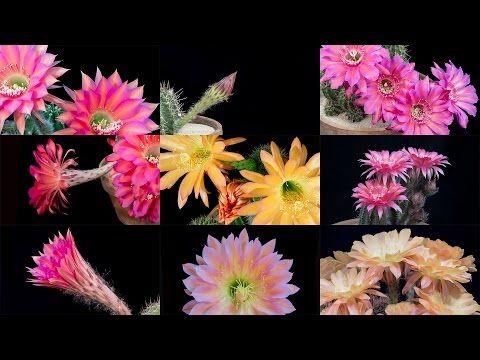Time-Lapse: Beautiful Cacti Bloom Before Your Eyes | Short Film Showcase - YouTube