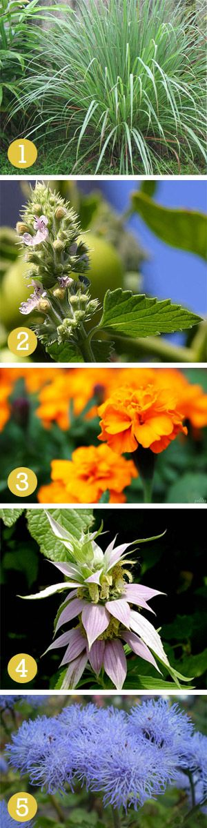 Weekend DIY: Mosquito Repelling Plants | Willard and May Outdoor Living Blog. 1. Citronella.  2. Catnip.   3. Marigolds.   4. Horsemint ( Bee Balm). 5. Ageratum (floss flower).