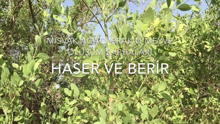 Misvak Ağacı ve Meyvesi - (Miswak) The Arak Tree and its fruit #sunnah #hadith #dailyhadith #prophet #mohammad #muslim #islam #sünnet #hadis #hzmuhammed #muhammed #peygamber #müslüman #islamiyet #hergünbirhadis #education #eğitim #Allah #quran #kuran AlHamdulillah !