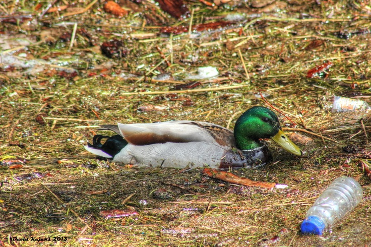 Mallard Duck in Lachine Canal