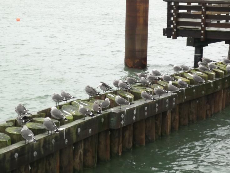 Sea-gulls Fisherman's Wharf