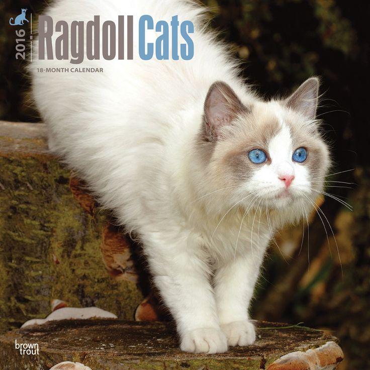 Ragdoll cats calendar 2016