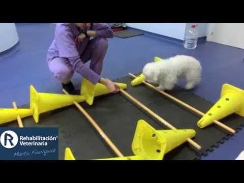 Rehabilitación Veterinaria: Enfermedad Degenerativa del Disco Intervertebral - YouTube