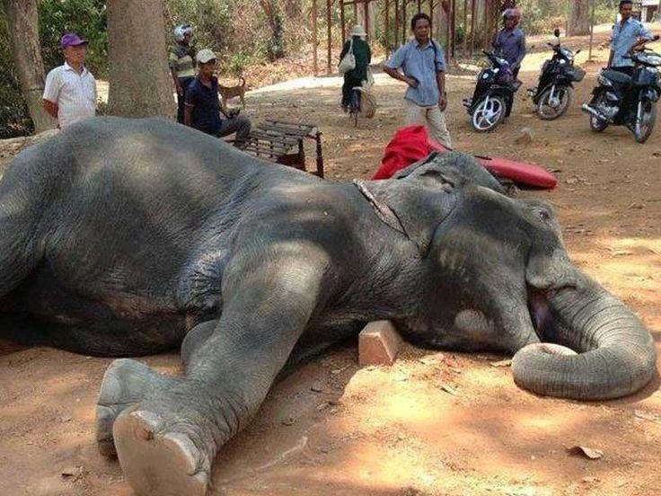 """""""Dünyada her on beş dakikada bir fil öldürülüyor!"""" Selen Göbelez Dumas Kamboçya'yı, filleri ve fillerle ilgili acı gerçekleri anlattı.. Detaylar ajanimo.com'da.. #animal #hayvan #fil #hayvanhakları #ajanimo #ajanbrian #elephant #srilanka #kamboçya"""