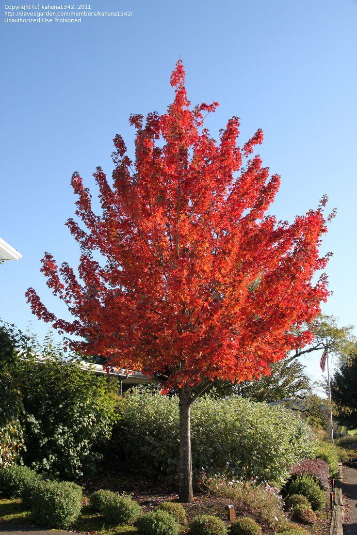 Tree borers amp bark beetles arborx tree health care - Redpointe Maple