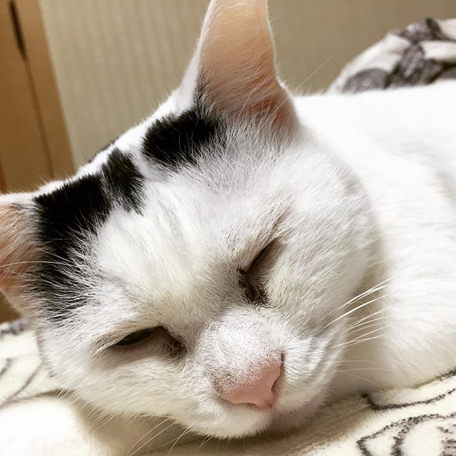 幸せそうな寝顔💕 #愛猫 #眠り猫 #猫バカ