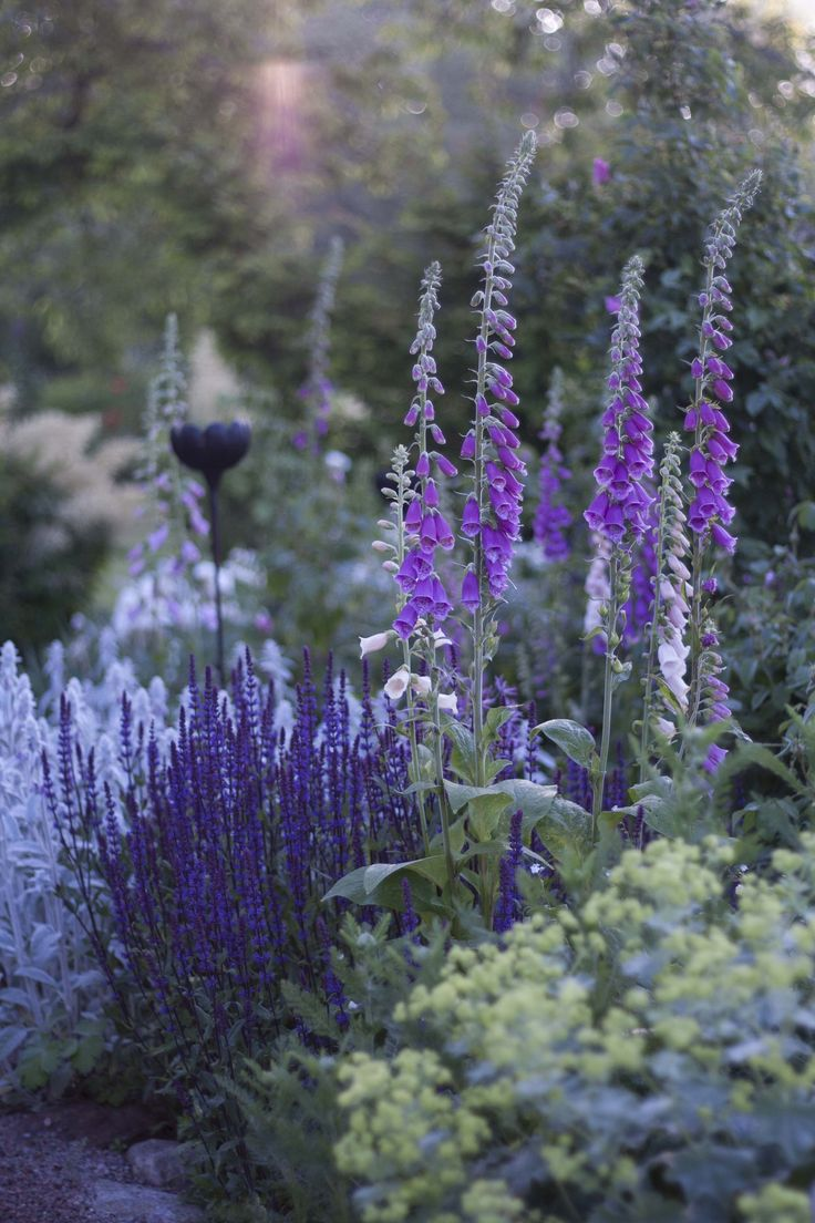 Digitalis with Salvia