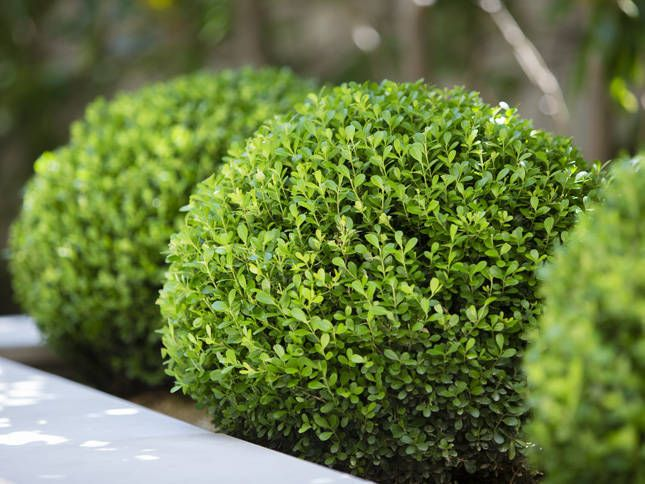 Bruxus Spheres  A huge Maple was craned into the raised planter and Buxus spheres mass planted beneath it, made sculptural by the decomposed granite base. From inside the hou...