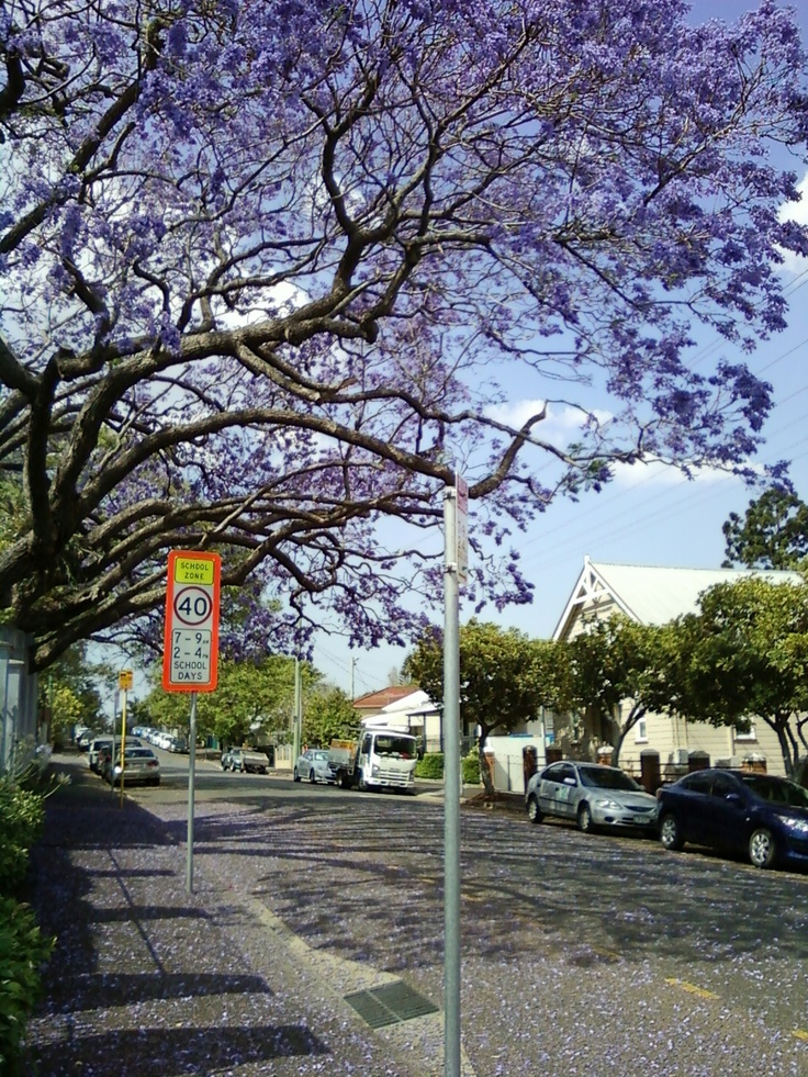 Jacaranda in New Farm, Brisbane - Jacaranda blossoms always put on a fabulous display in Spring - to be replaced by welcome foliage for shade in Summer.