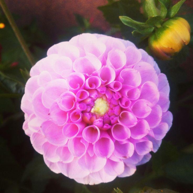 Pink Georginia