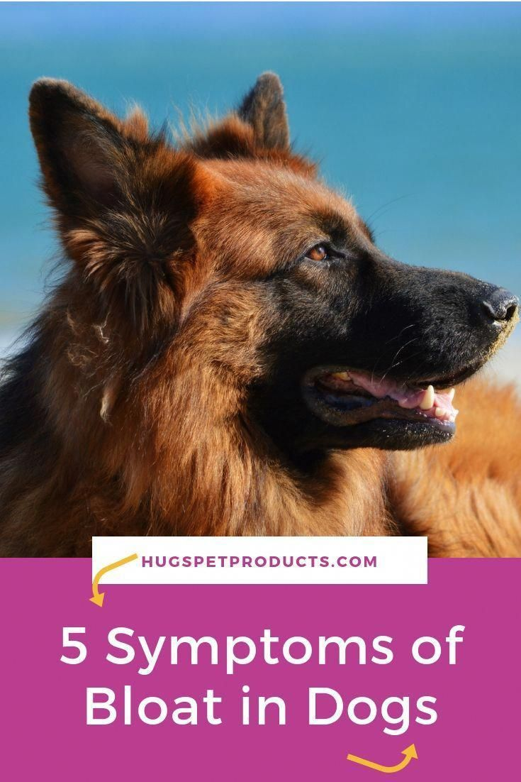 5 Symptoms Of Bloat In Dogs Bloating Symptoms Dog Training School Dog Health