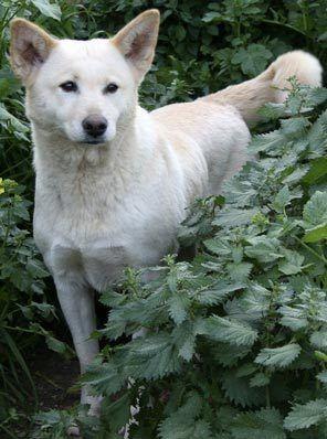 Israeli Dog Breeds