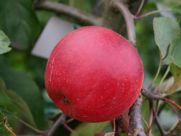 Сорт вишни мценская фото и описание временем