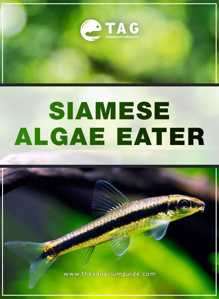 Tropical Algae Eaters