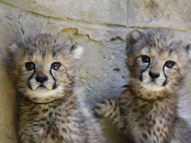 listing Cheetah cubs , Serval kittens , Caracal ... is published on Free…