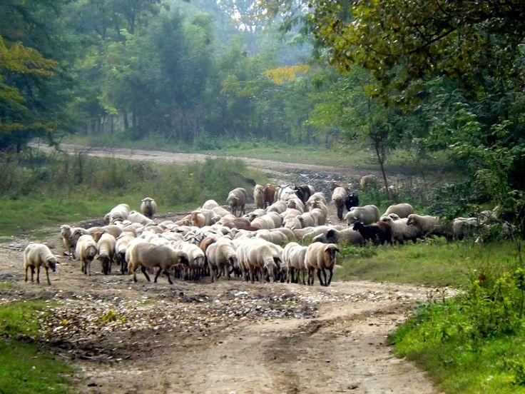 http://puszystaowca.pl/owce/